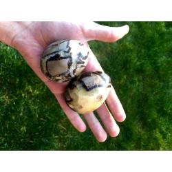 Egg septaria